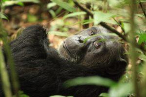 Uganda, zwischen Gorillas und Schimpansen mit Peter Kiefer