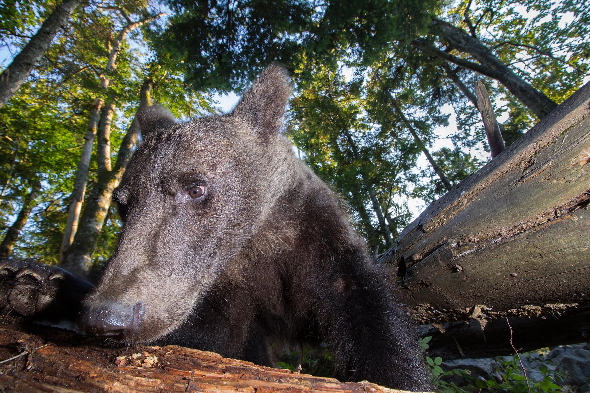 Leben am Limit - Braunbären hautnah - Photo+Adventure